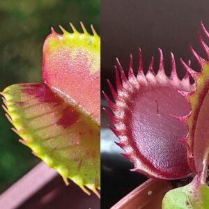 Dionaea muscipula Charly Mandons Spotted x Dracula 12 semen