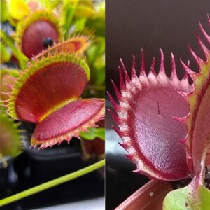Dionaea muscipula Dentate Traps C x Dracula 12 semen