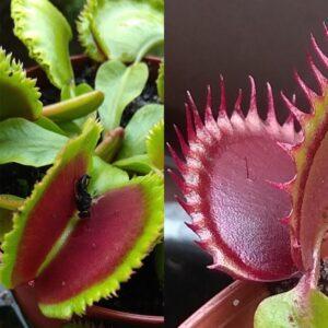 Dionaea muscipula Giant Clam x Dracula 12 semen