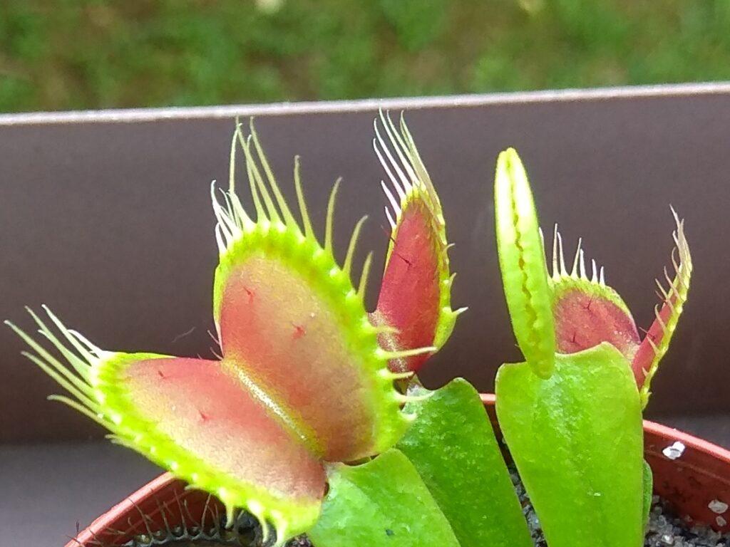 Dionaea muscipula - B52