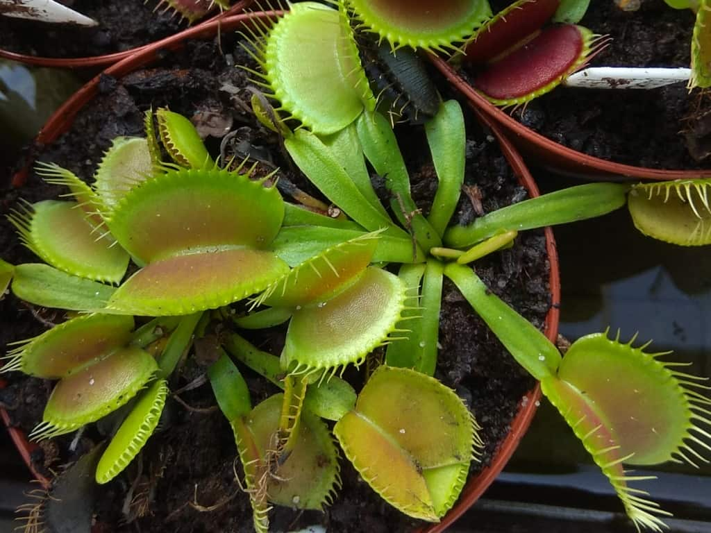Dionaea muscipula - King-žlutá