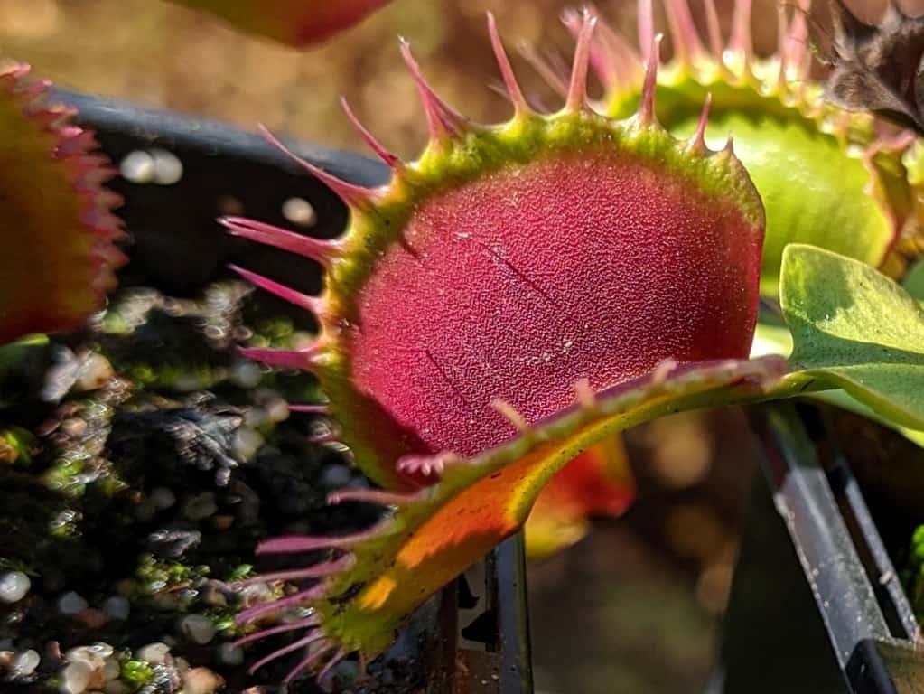Dionaea muscipula - Predator