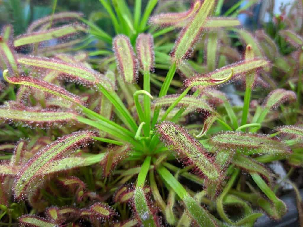 Subtropické, nezatahující, světlomilné rosnatky