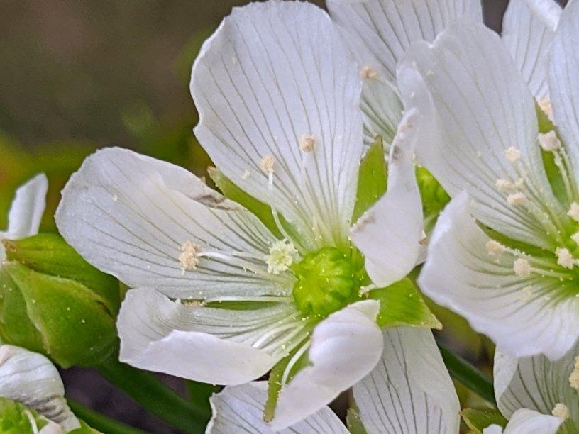 Květ mucholapky