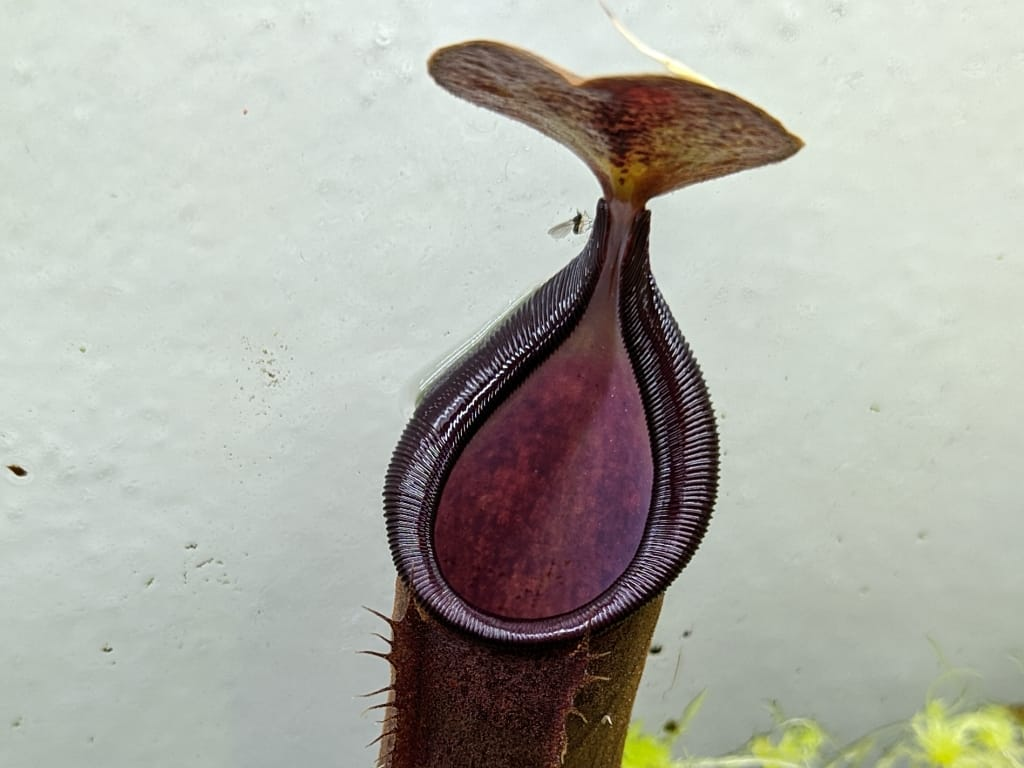 Nepenthes spathulata x adnata