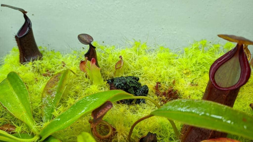 Heliamphora s žabkou v paludáriu