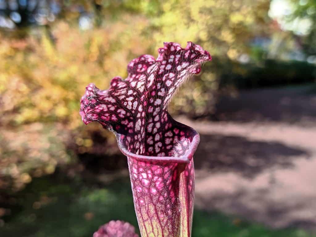 Sarracenia 'Přemysl Otakar I' x leucophylla