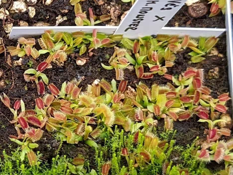 Semenáče mucholapek
