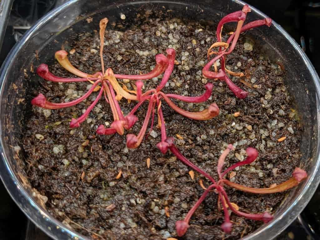Semenáče špirlic