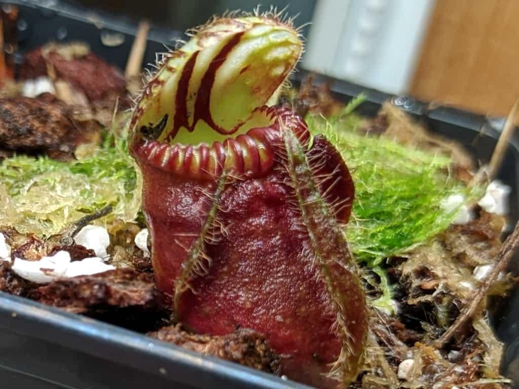 Cephalotus follicularis Thomas Carow