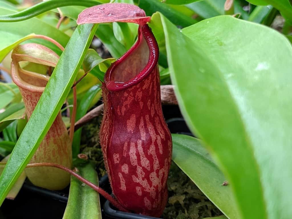 Nepenthes gaya