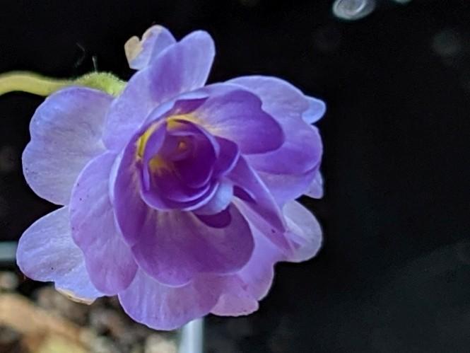 Pinguicula primuliflora 'Rose'