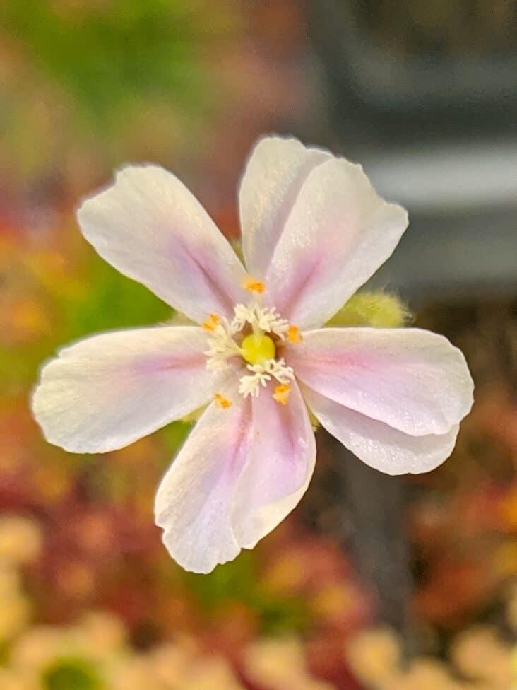 Drosera fulva_květ